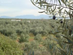 Italia, cuya producción cayó un 35%, a la compra de aceite de oliva en la World Olive Oil